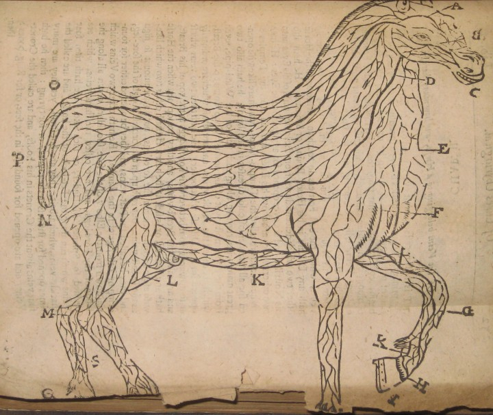 """Of the Veins belonging to the Horse, and how many there be."""