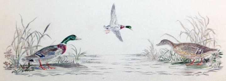 Mallards. The collection is original drawings and watercolors, most depicting animals in nature.