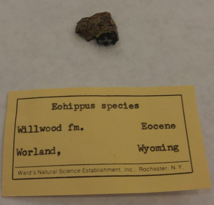 Eohippus tooth, Eocene Epoch. Worland, WY. Gift of Ellen B. Wells.