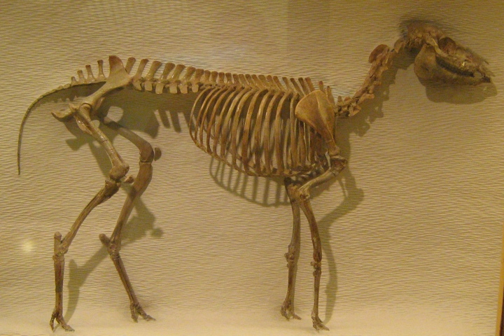 Picture of a reconstructed fossil of Mesohippus barbouri at the Harvard Museum of Natural History. Photo frpm Wikimedia Commins, by David Starner, 2010.