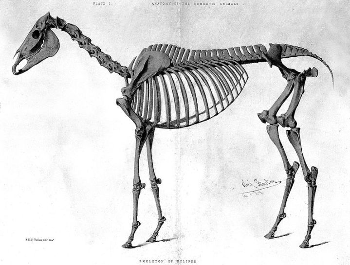 Skeleton_of_Eclipse_(a_horse)._Wellcome_L0000443