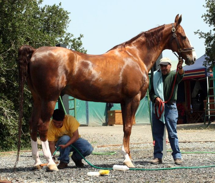 704px-American_Saddlebred_Bathing
