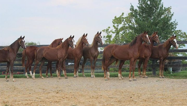 Saddlebred_Yearlings_At_Willowbank_Farm_In_Simpsonville,_kY_(8082425397)